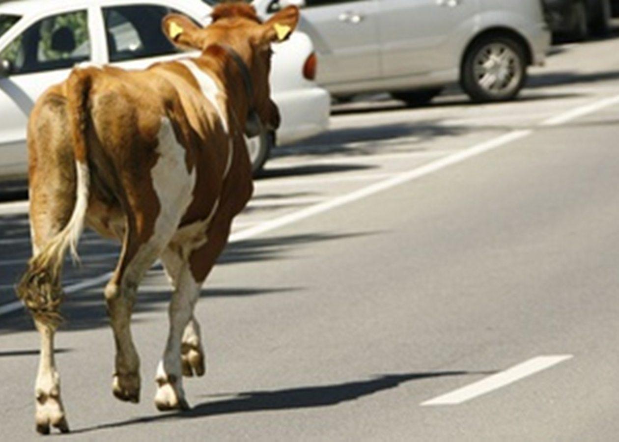 На Херсонщине автомобиль врезался в корову