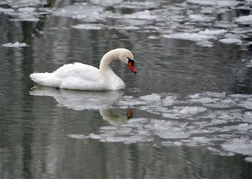 На Херсонщині лебеді потрапили до крижаної пастки