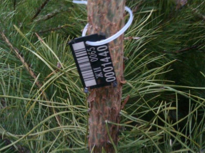 На легально срубленных елках в Херсоне будут и чипы, и наклейки