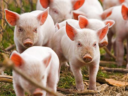 Через чуму на Херсонщині вирізали цілу ферму