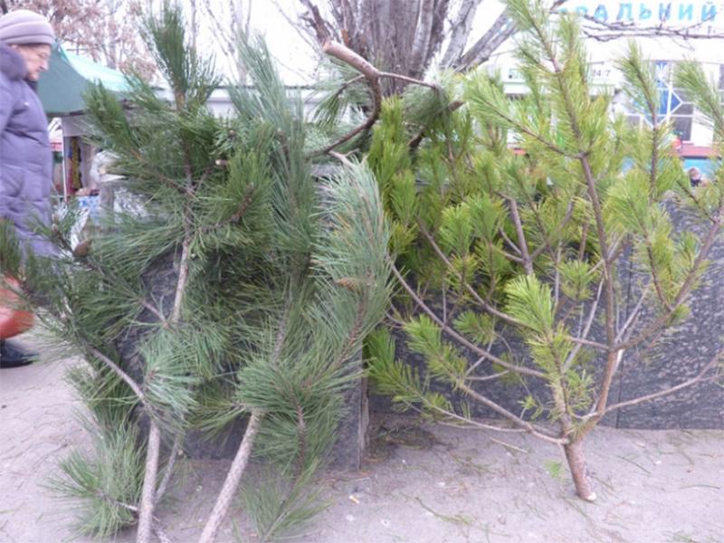 Новорічні деревця на Херсонщині втратили товарний вигляд
