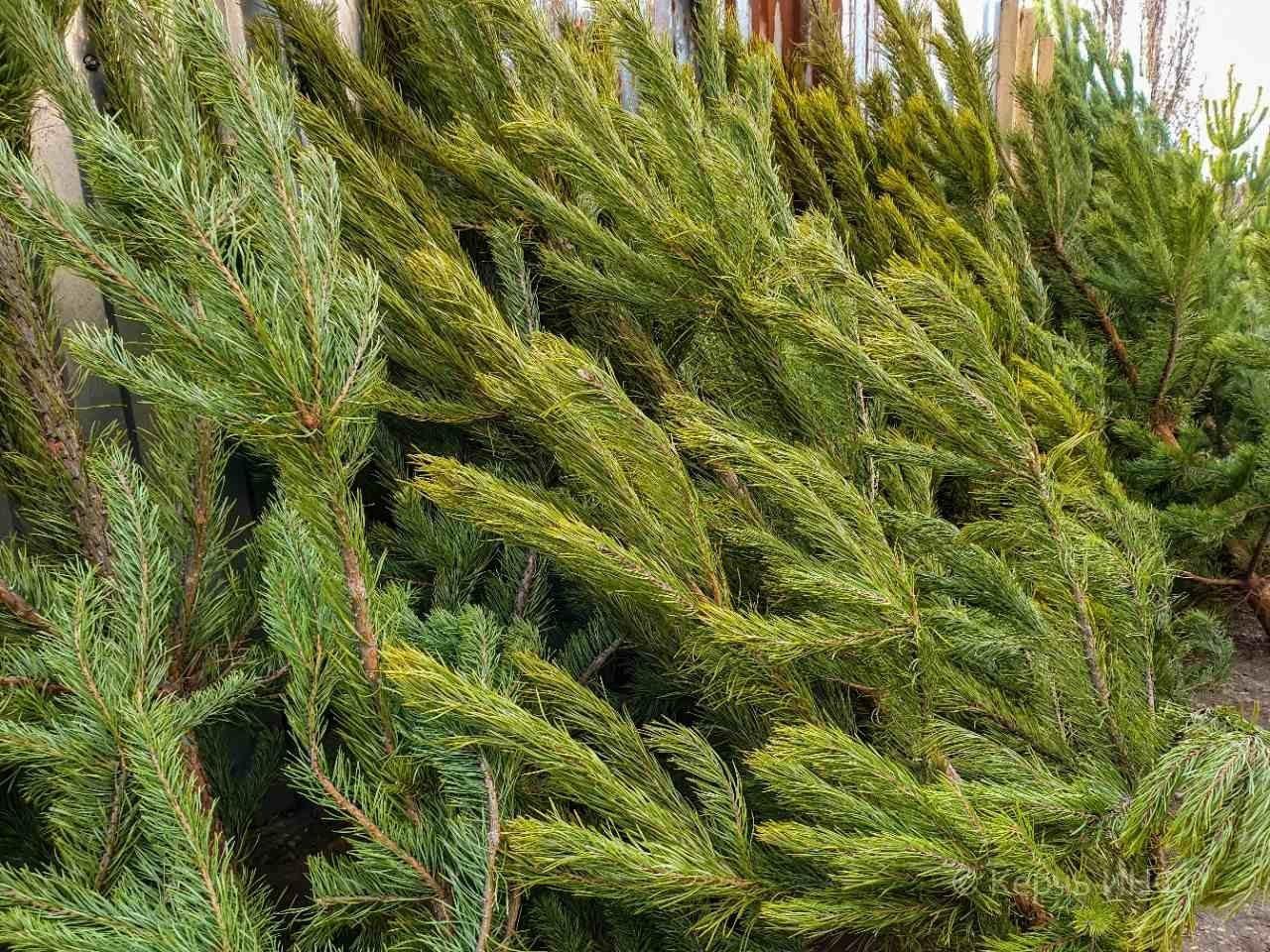 На Херсонщине уже продают елки